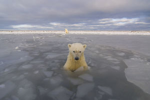 Polar bear (Ursus maritimus) curious cub in newly forming pack ice checks out the