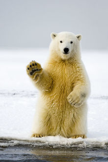 Polar bear (Ursus maritimus) curious cub sits up on its hind legs, paw raised