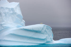 Polar bear (Ursus maritimus) female and her two cubs on large iceberg off Baffin Island