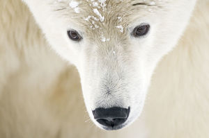Polar bear (Ursus maritimus) head close-up portrait of an adult male, with snowflakes