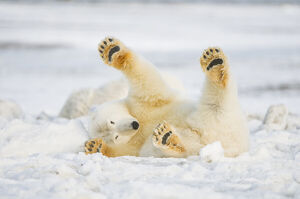 Polar bear (Ursus maritimus) juvenile rolling around on newly formed pack ice, Beaufort