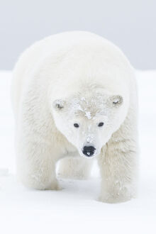 Polar bear (Ursus maritimus) portrait of curious young male, covered in snow