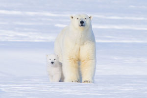 Polar bear (Ursus maritimus) sow with her cub outside their den in late winter