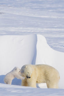 Polar bear (Ursus maritimus) sow plays with her spring cub outside their den in late