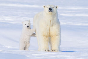 Polar bear (Ursus maritimus) sow standing with her cub outside their den in late winter