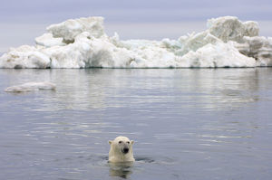 Polar bear (Ursus maritimus) swimming in the water in front of an iceberg, Beaufort Sea