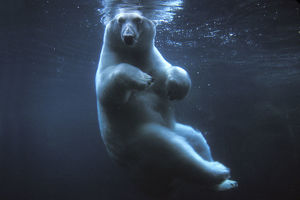 Polar bear (Ursus maritimus) underwater view swimming in a pool, Anchorage Zoo, Alaska
