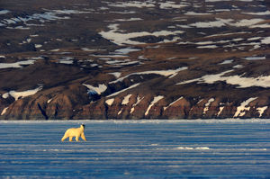 Polar Bear (Ursus maritimus) walking on icepack with arctic coast in the background