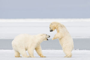 Polar bear (Ursus maritimus) two years, plays with a spring cub on newly formed pack