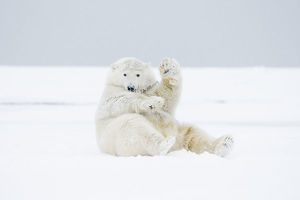 Polar bear (Ursus maritimus) young male playing / rolling around in the snow along