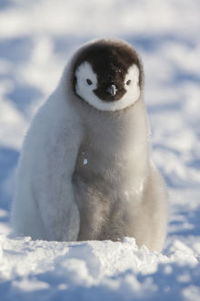 Portrait of Emperor penguin chick (Aptenodytes forsteri) sitting in the snow at Snow