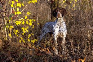 Portrait of German Shorthair Pointer in woodland, Illinois, USA