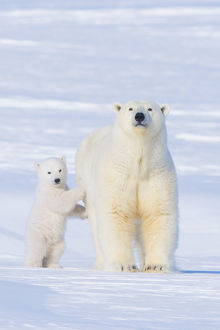 Portrait of Polar bear (Ursus maritimus) sow standing with her cub on the snow in