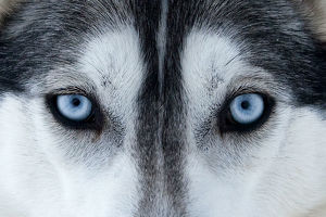 Portrait of Siberian Husky dog face used as sled dogs inside Riisitunturi National Park