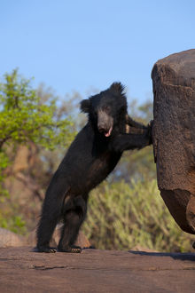 Portrait of a young adult male Sloth Bear (Melursus ursinus) standing on hind legs