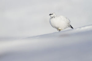Ptarmigan (Lagopus muta) male on snowy ridge on Cairngorm mountain, Cairngorms National