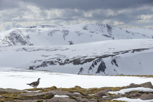 Ptarmigan (Lagopus mutus) male in snowy mountains, Cairngorms National Park, Scotland