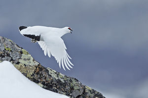 Ptarmigan (Lagopus mutus) in winter plumage in flight, Utsjoki, Finland, April