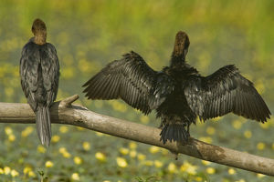 Rear view of Two Pygmy cormorants (Microcarbo pygmeus) perched on a branch, one with