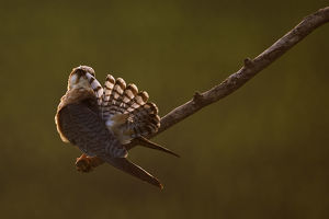 Red footed falcon (Falco vespertinus) on branch preening, at sunset, Hortobagy National