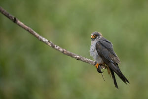 Red footed falcon (Falco vespertinus) perched on branch with a mouse in its claws