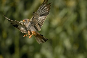 Red footed falcon (Falco vespertinus) in flight carrying insect prey for young, Hortobagy
