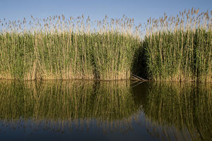 Reeds on in Tisza lake, Hortobagy National Park, Hungary, May 2009