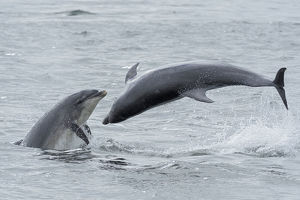 RF - Bottlenose dolphins (Tursiops truncatus) porpoising, Chanonry Point, Moray Firth