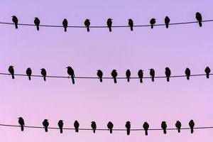 RF - Flock of Boat-tailed grackle (Quiscalus major) on wires at dawn. Crystal River