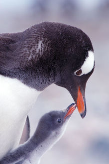 RF- Gentoo Penguin (Pygoscelis papua) chick begging parent for food, Antarctica