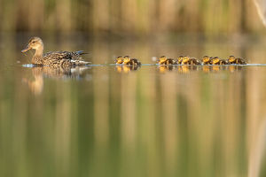RF - Mallard (Anas platyrhynchos) female swimming with with young chicks following