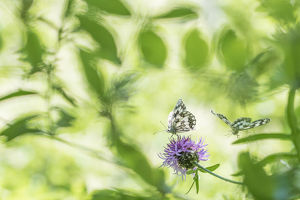 RF - Marbled white butterfly (Melanargia galathea) on knapweed, with soft focus leaves
