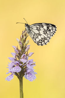 RF - Marbled White butterfly (Melanargia galathea) resting on common spotted orchid