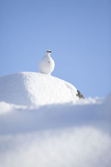 RF- Rock ptarmigan (Lagopus mutus) standing on boulder, camouflaged against snow