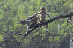 august 2019 highlights/rhesus macaque macaca mulatta juveniles playing