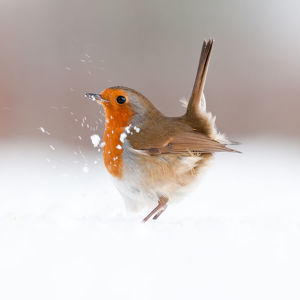 british birds/robin erithacus rubecula displaying snow nr