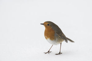 april 2019 highlights/robin erithacus rubecula standing snow hertfordshire