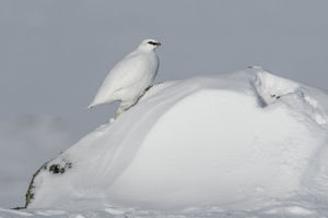 Rock ptarmigan (Lagopus muta) male on snow drift, Taymyr Peninsula, Siberia, Russia