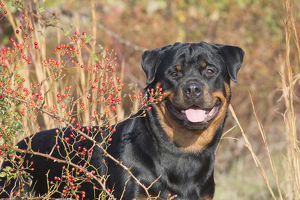 Rottweiler in autumnal vegetation with berries, Madison, Connecticut, USA
