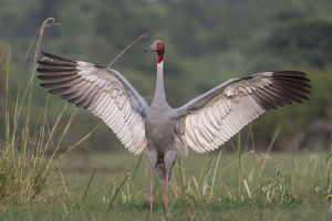 august 2019 highlights/sarus crane grus antigone male displaying