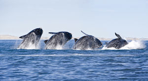 Sequence of a breaching Southern right whale (Eubalaena australis) Golfo Nuevo, Peninsula
