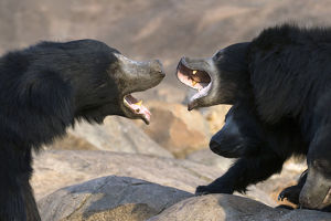 Sloth Bear (Melursus ursinus) female with large cubs (on right) trying to fight off