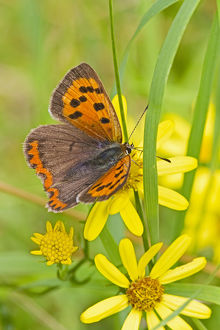 uk wildlife august/small copper butterfly lycaena phlaeas common