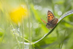 Small copper butterfly (Lycaena phlaeas) in meadow. Peak District National Park, Derbyshire
