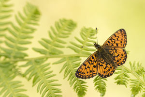 Small pearl-bordered fritillary (Boloria selene), Marsland mouth, Cornwall/Devon, UK
