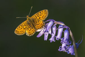 Small pearl-bordered fritillary butterfly (Boloria selene), Marsland mouth, Cornwall, UK