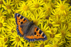 Small tortoiseshell (Aglais urticae) feeding on Common ragwort (Senecio jacobaea)