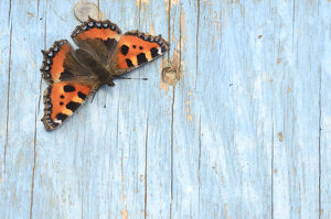 Small tortoiseshell butterfly (Aglais urticae) resting on old painted door. Dorset