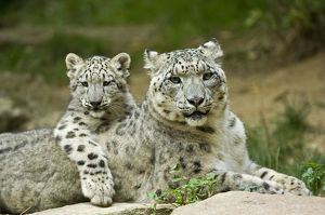 Snow leopard mother (Uncia uncia) with cub, captive, occurs in mountains of central