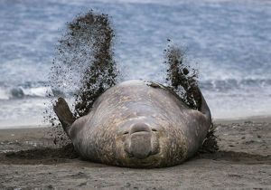 Southern elephant seal (Mirounga leonina), male flicking sand over body on beach